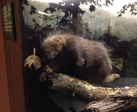 Sadly, this is the only porcupine I saw...in a diorama at the visitor's center